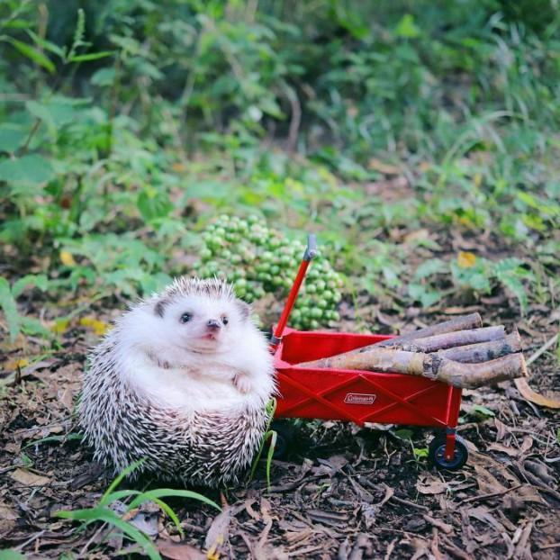 cute-hedgehog-azuki-9-59e5aa30e2199__700